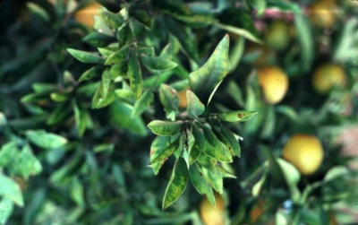 Pierces_disease_-_Xylella_fastidiosa__ScaleMaxWidthWzY0MF0