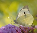 128px-ComputerHotline_-_Pieris_brassicae_(by)_1