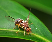 220px-Queensland_Fruit_Fly_-_Bactrocera_tryoni