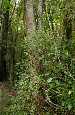 Riccarton bush - small